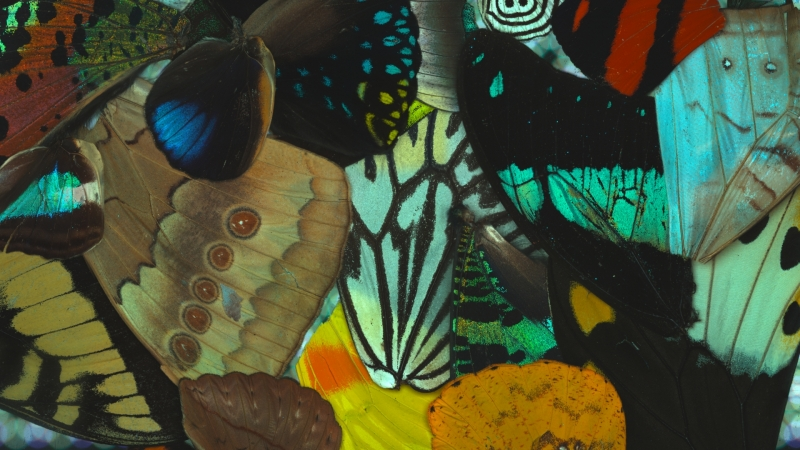 microscope image of colorful butterfly wings