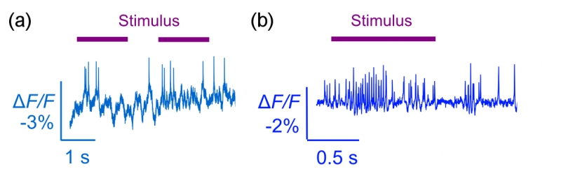 (a) Optically detected spikes from an awake behaving mouse driven by visual stimulus. (b) Optically detected spikes from an awake behaving fly drive by odor stimulus.