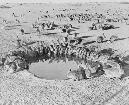 Rabbits crowded around a watering hole in southern Australia in 1938. This invasive species started with 24 individuals, reaching a population of 600 million by 1950 in part because of a phenomenon known as the Allee effect. A Duke University team has experimentally tested the concept in engineered bacteria. Photo courtesy Commonwealth of Australia (National Archives of Australia) 2013