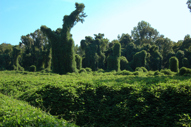 One of the most damaging invasive species in history, kudzu, or Japanese arrowroot, found its way from Japan to the southeastern United States, where it is overtaking much of the landscape. An ecological concept known as the Allee effect governs the spread of invasive species and pathogens, according to a Duke University team that has tested the concept in engineered bacteria. Photo courtesy of Wikipedia Commons